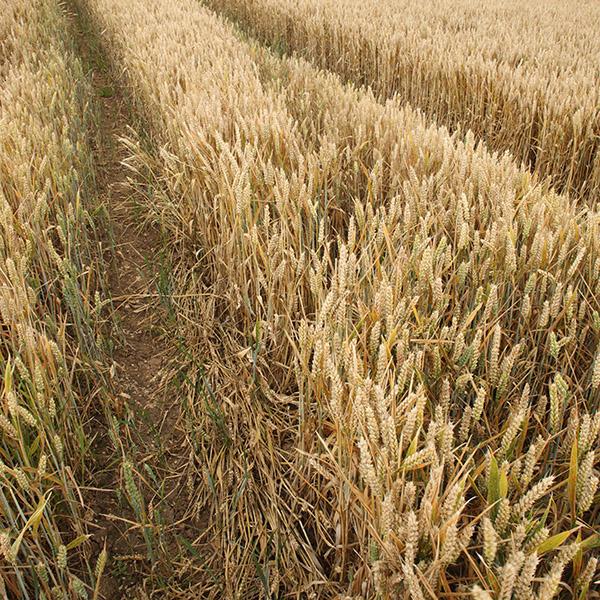 Wheat at a farm